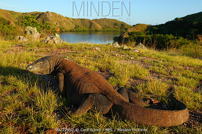 Komodo dragon (Varanus komodoensis) in habitat with boat, Rinca Island, Komodo National Park, Indonesia.
