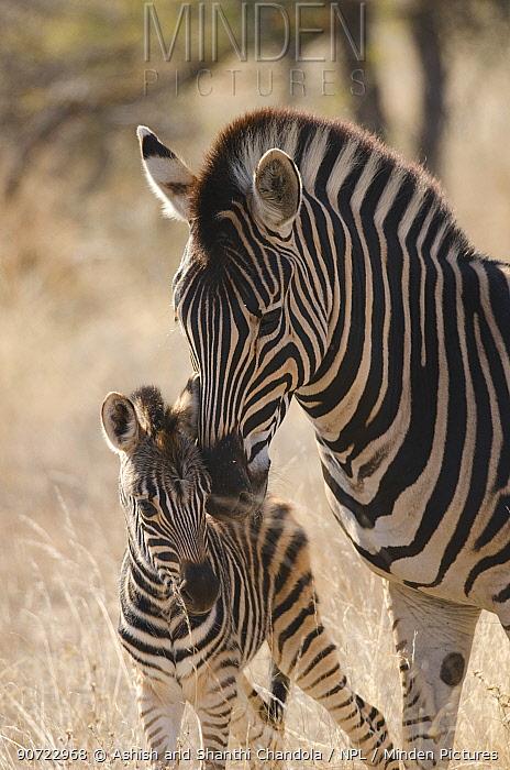 Plains zebra (Equus quagga) grooming foal, Kruger National Park, South Africa, July.