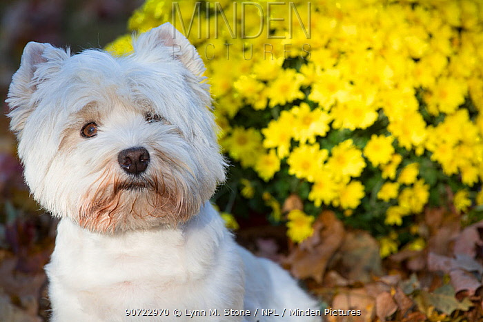 West Highland terrier in autumn by yellow flowers. Veron, Connecticut, USA. Non-ex.