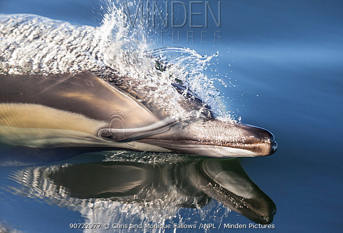 Long-beaked common dolphin (Delphinus capensis) porpoising in still water, False Bay, South Africa  -  Chris and Monique Fallows