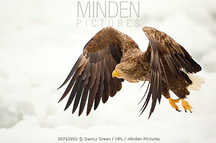 White tailed eagle (Haliaeetus albicilla) in flight with snowy background, Rausu, Japan, February
