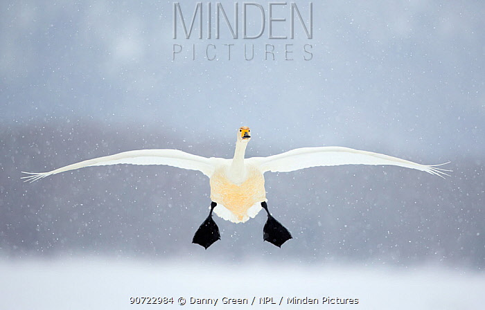Whooper swan (Cygnus cygnus) in flight in snowfall, Lake Kussharo, Japan, February