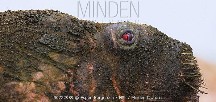 Walrus (Odobenus rosmanus) covered in mud,  close up portrait, Svalbard, Norway