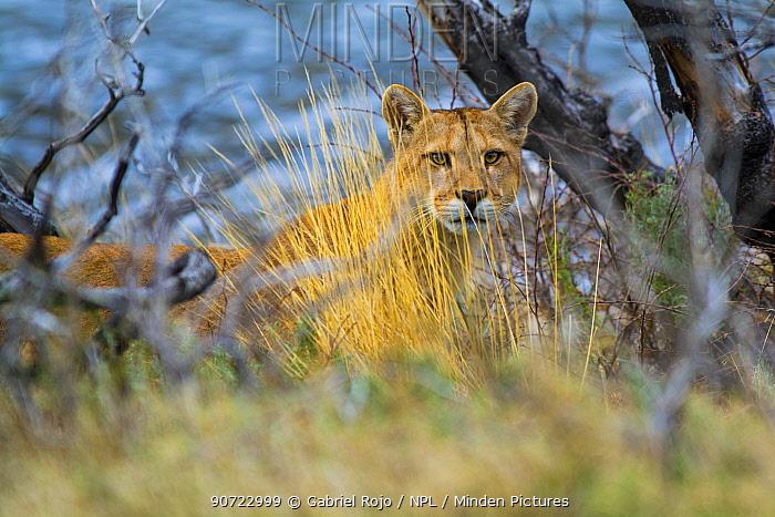 Cougar (Puma concolor) portrait, Torres del Paine National Park, Chile