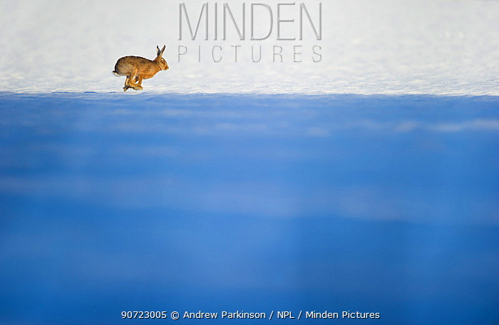 Brown hare (Lepus europaeus) adult across a snow covered field, which partly in shadow. Derbyshire, UK, January.