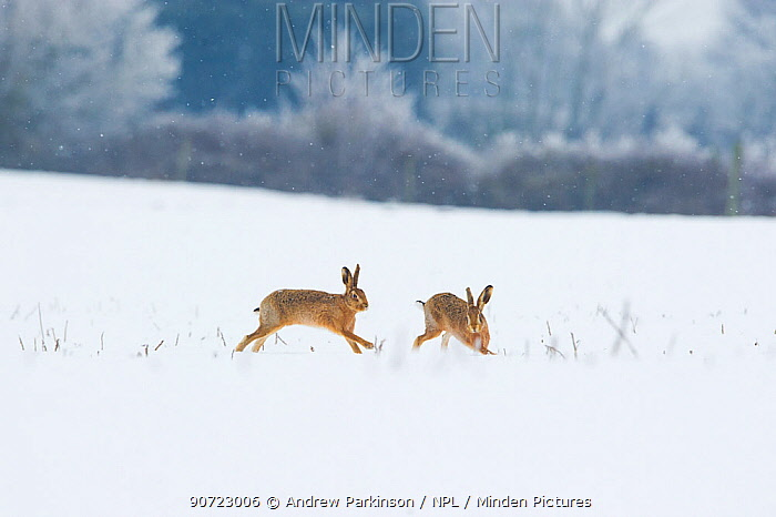 Brown hare (Lepus europaeus) adult male (left) pursuing female, Derbyshire, UK, January.