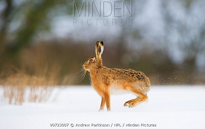 Brown hare (Lepus europaeus) adult female skidding to a halt in a snow covered field, Derbyshire, UK, March.