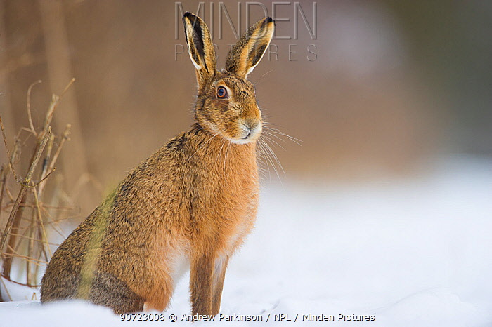 Brown hare (Lepus europaeus) adult sitting in a snow covered field. Derbyshire, UK, January.
