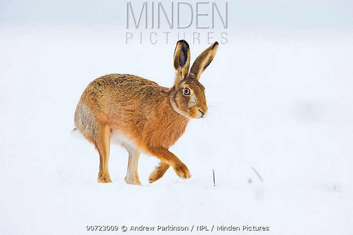 Brown hare (Lepus europaeus) adult walking across a snow covered field. Derbyshire, UK, January.