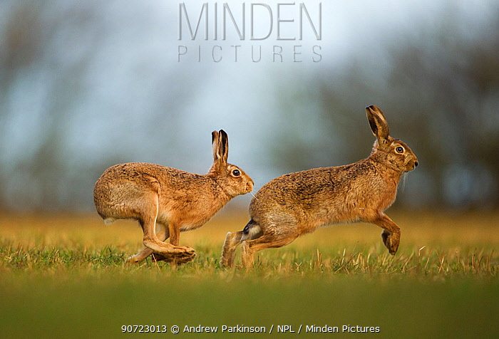 Brown hare (Lepus europaeus) adult male pursuing female, Derbyshire, UK, February.