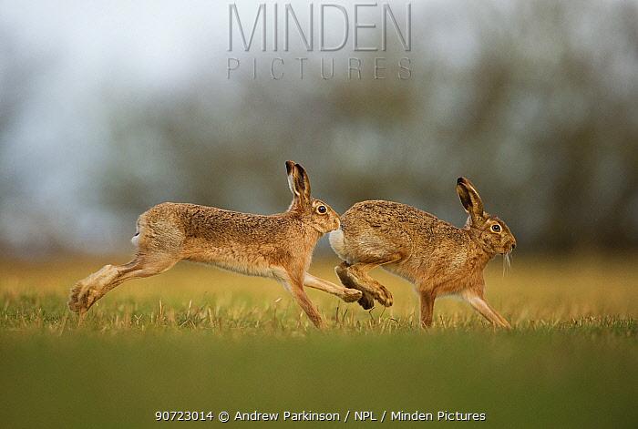 Brown hare (Lepus europaeus) adult male pursuing female, Derbyshire, UK, February.