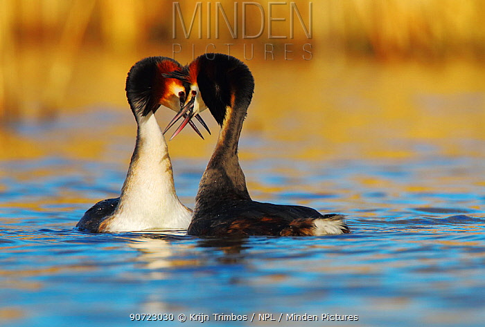Great crested grebe (Podiceps cristatus) pair in courtship display, The Netherlands. March.