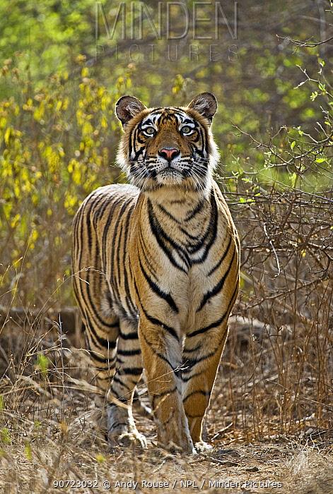 Bengal tiger (Panthera tigris tigris) stalking deer, and craning neck, Ranthambore, India.