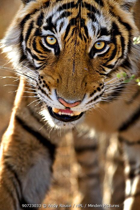 Bengal tiger (Panthera tigris tigris) portrait, whilst stalking, Bandhavgarh, India.