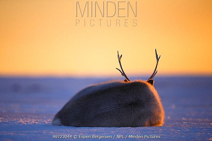 Svalbard reindeer (Rangifer tarandus platyrhynchus) resting on ground at sunset, Svalbard, Norway. April.