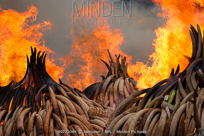 Piles of African elephant ivory set on fire by the Kenya Wildlife Service (KWS). This burn included over 105 tons of elephant ivory, worth over $150 million. Nairobi National Park, Kenya, 30th April 2016.