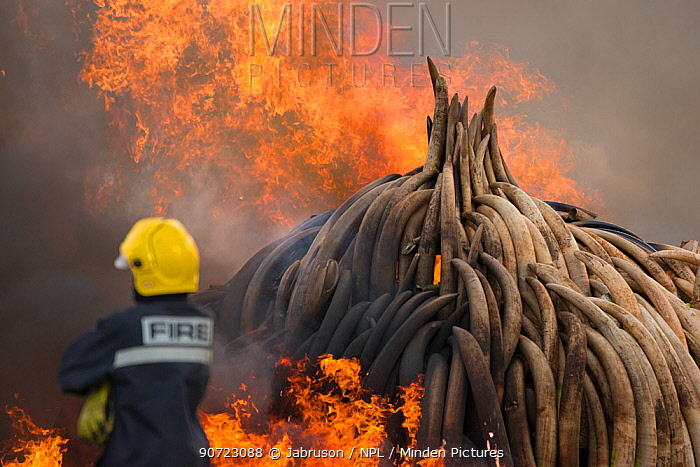 Firemen watching as piles of African elephant ivory are burnt by the Kenya Wildlife Service (KWS). This burn included over 105 tons of elephant ivory, worth over $150 million. Nairobi National Park, Kenya, 30th April 2016.
