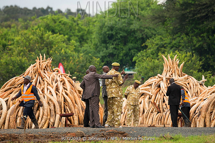 African elephant (Loxodonta africana) ivory in piles, ready to be burnt by the Kenya Wildlife Service (KWS). The burn included 105 tons of elephant ivory worth over  $150 million Nairobi National Park, Kenya, 30th April 2016.