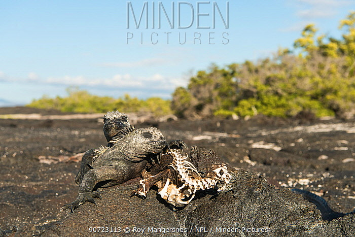 Marine iguanas (Amblyrhynchus cristatus) basking on rock next to skeleton of one which starved to death. Unusually warm El Nino waters have killed a lot of the algae which is the food for these iguanas. Fernandina island, Galapagos, April 2016.