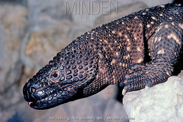 Mexican beaded lizard portrait {Heloderma horridum} captive, occurs in Mexico Venomous species