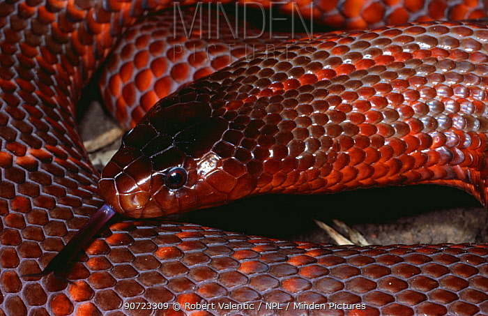 D - Collett's snake {Pseudechis colletti} coiled with tongue extended, Queensland, Australia