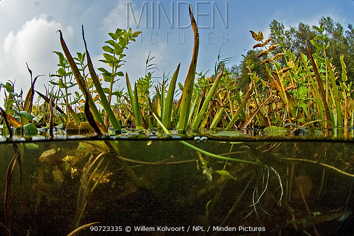 Mixture of aquatic plants growing at waters edge, Holland. September.