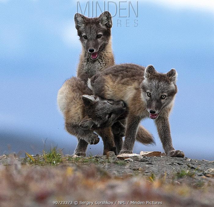 Arctic fox (Alopex lagopus) juveniles play fighting, Wrangel Island, Far East Russia, August.