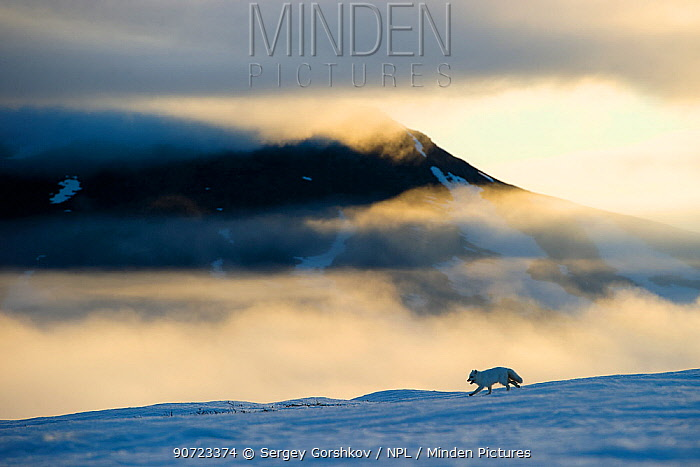 Arctic fox (Alopex lagopus) running in snowy landscape with mountains behind, Wrangel Island, Far East Russia, May.