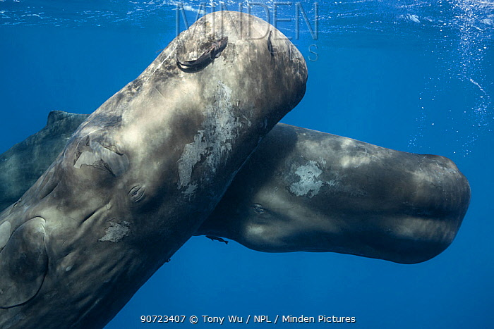 Sperm whales (Physeter macrocephalus) juveniles playing together, Dominica, Caribbean.