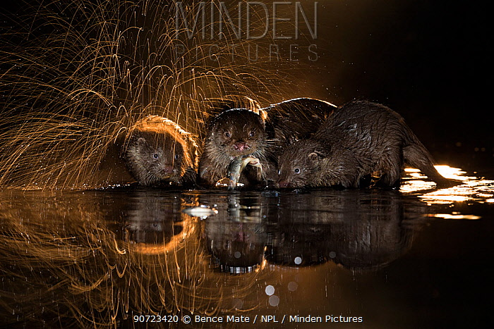 European otter (Lutra lutra) group with one shaking off water, Kiskunsagi National Park, Hungary, October.