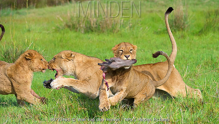 Lion (Panthera leo) pride interacting over kill. Here a juvenile has taken the warthog prey from its mother whilst she defends the prey from another lioness.Okavango Delta, Botswana