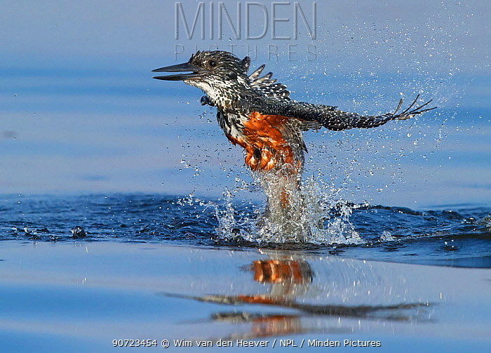 Giant Kingfisher (Megaceryle maximus) female flying out of water, Chobe River, Botswana. Small reproduction only.