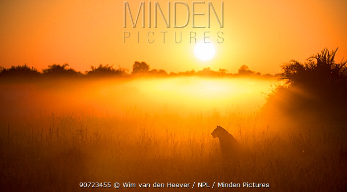 Lioness (Panthera leo) sitting during misty sunrise, Okavango Delta, Botswana.