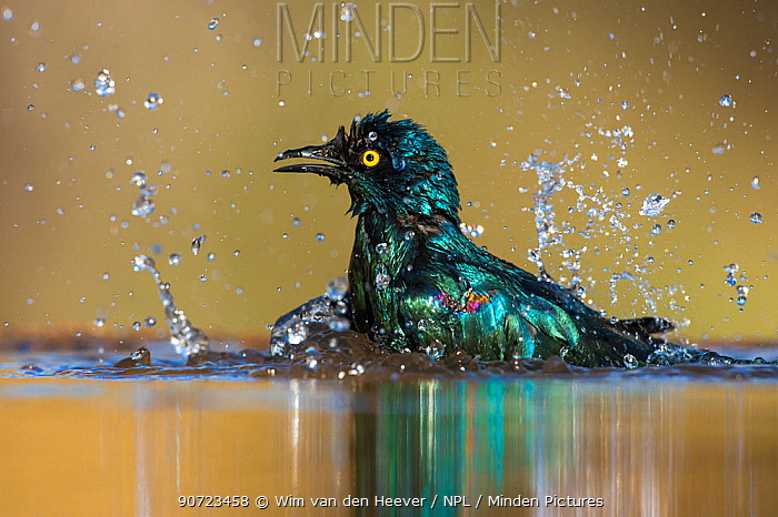 Cape glossy starling (Lamprotornis nitens) bathing, Northern Natal, South Africa, September.
