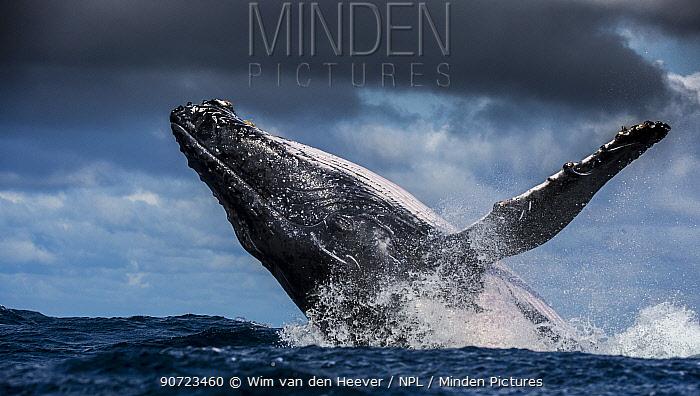 Humpback Whale (Megaptera novaeangliae) breaching, Port St Johns, South Africa.
