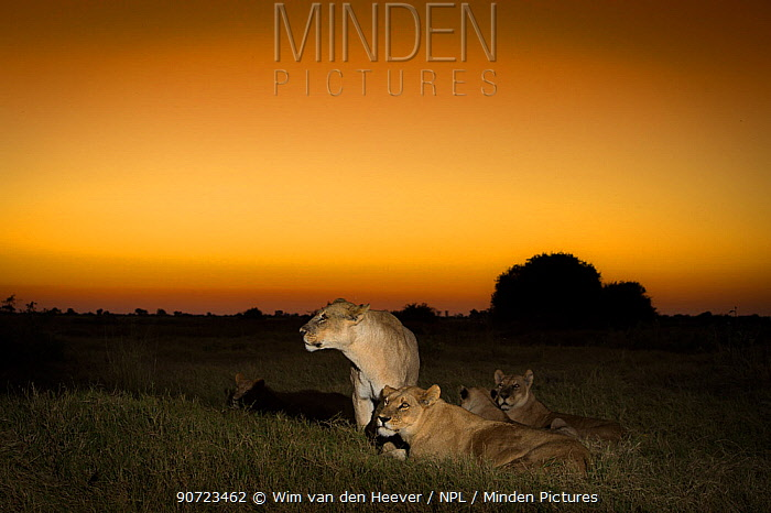 Pride of Lions (Panthera leo) on termite mound at sunset, Okavango Delta, Botswana.