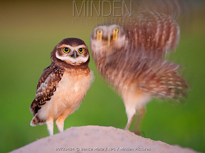 Two Burrowing owls (Athene cunicularia) fledgling with adult about to take off, Pantanal, Brazil.