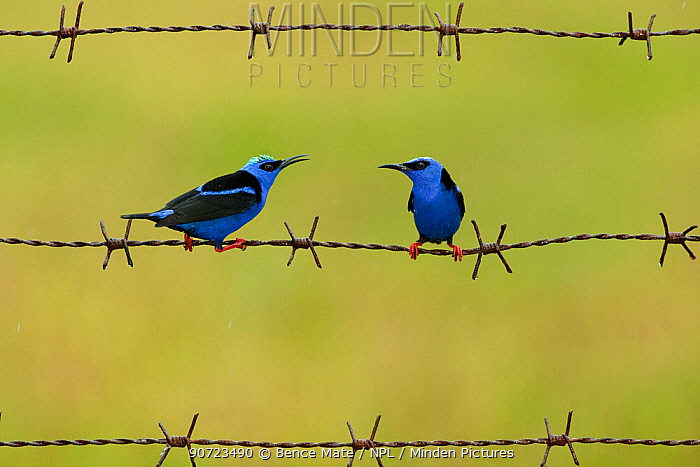 Red-legged honeycreeper (Cyanerpes cyaneus) two males on barbed wire. Costa Rica.
