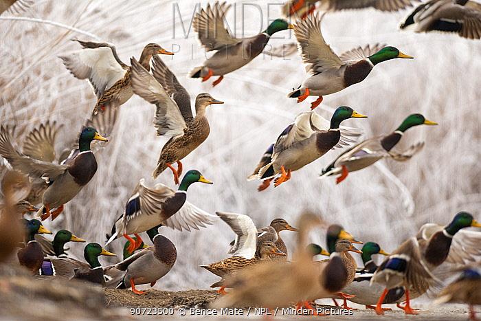Flock of Mallard ducks (Anas platyrhynchos) taking off, Lake Csaj, Kiskunsagi National Park, Pusztaszer, Hungary. December.