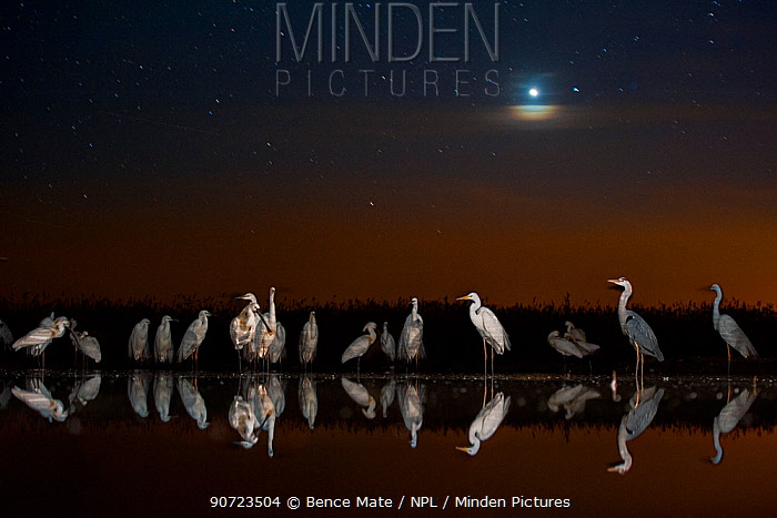 Group of Great egrets (Ardea alba), Grey heron (Ardea cinerea) and Eurasian spoonbill (Platalea leucorodia) at night with stars and moon. Lake Csaj, Kiskunsagi National Park, Pusztaszer, Hungary. May.