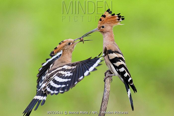 Hoopoe (Upupa epops) courtship feeding, Pusztaszer, Hungary, May.