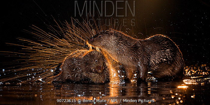 European otters (Lutra lutra) at water's edge, one shaking off water, Kiskunsagi National Park, Hungary, January.