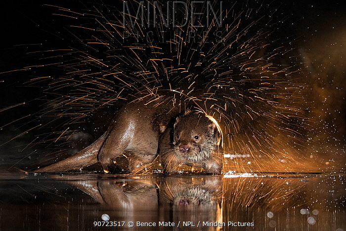 European otter (Lutra lutra) shaking off water, Kiskunsagi National Park, Hungary, January.