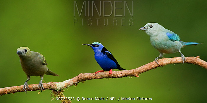 Red-legged honeycreeper (Cyanerpes cyaneus) perched with Palm tanager (Thraupis palmarum) and  Blue-gray tanager (Thraupis episcopus) Laguna del Lagarto, Santa Rita, Costa Rica