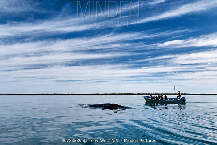 Grey whale (Eschrichtius robustus) female and calf surfacing near a whale watching boat in calm waters, Magdalena Bay, Baja California, Mexico.