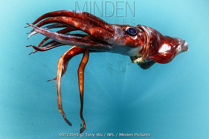 Dead Sharpear enope squid (Ancistrocheirus lesueuri) floating at the surface, Sri Lanka, Indian Ocean.