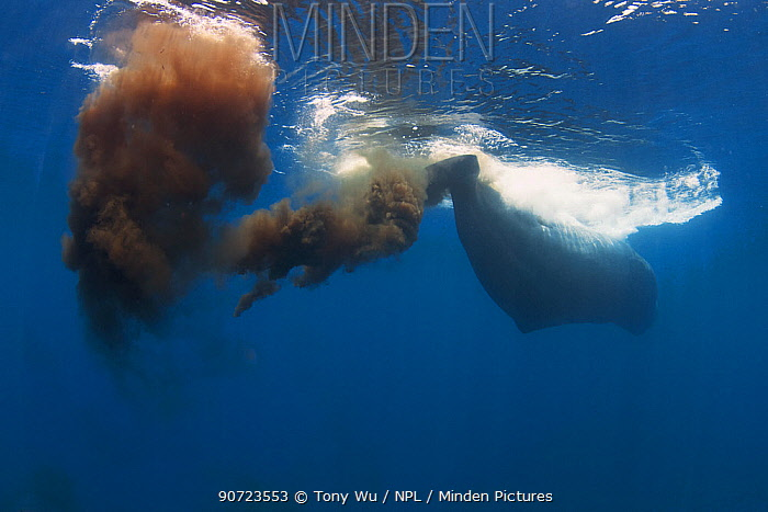 Sperm whales (Physeter macrocephalus) defecating with a very large amount of faeces, Sri Lanka, Indian Ocean.