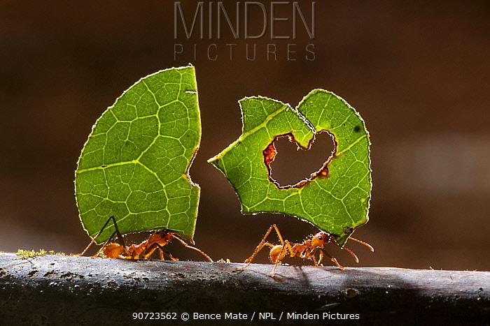 Leaf cutter ants (Atta sp) carrying plant matter, Costa Rica.