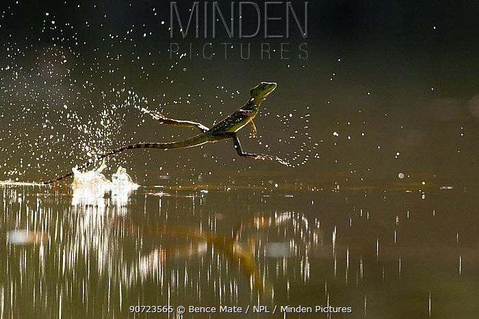 Double-crested basilisk (Basiliscus plumifrons) running across water surface, Santa Rita, Costa Rica.