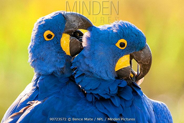Hyacinth macaws (Anodorhynchus hyacinthinus) mutual preening, Estrada Parque, Pantanal, Brazil.